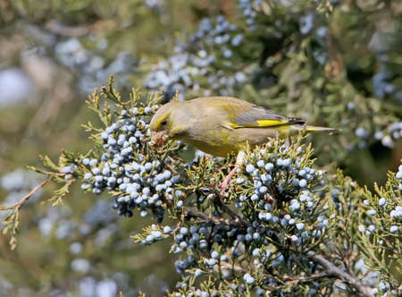 Close up photo of greenfinch eats a berries on the tree