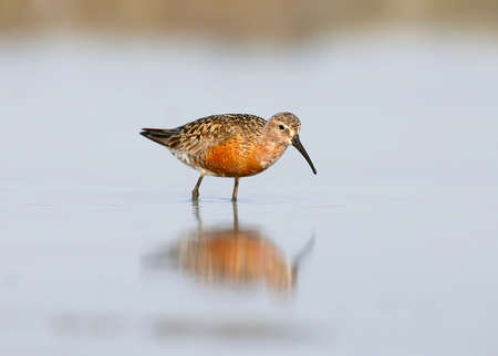 The curlew sandpiper (Calidris ferruginea) in autumn plumage stand on the water. Фото со стока