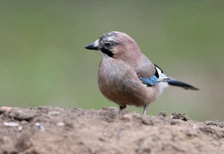 Eurasian jay sits on the ground close up portrait with blurry background.