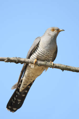 Close up and detailed photo common cuCkoo on blue sky background