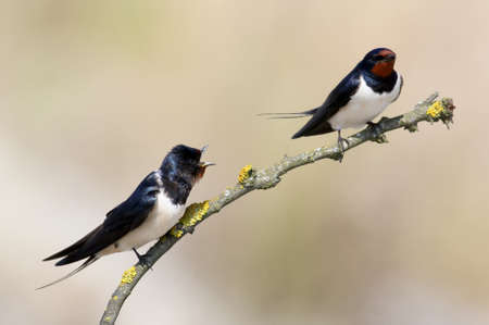 Two Barn swallow on the blurred light  background.