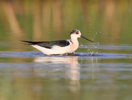 Black winged stilt with water reflection in soft morning light swimming with splash Stock Photo
