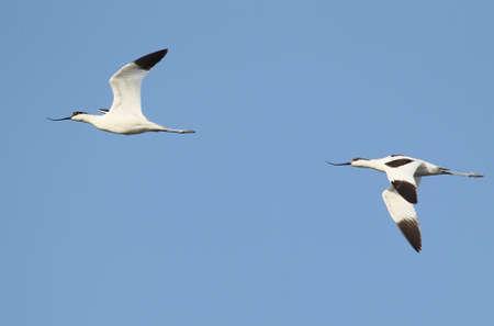 A pair pied avocet (Recurvirostra avosetta) in flight