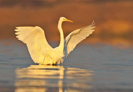 Great white heron close up in red morning light. 写真素材