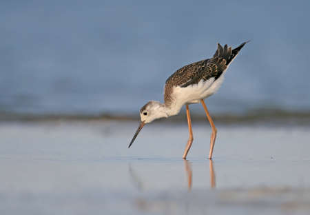 Young black winged stilt feeding on the water. Stock Photo