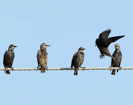 Common starlings on electrical wire unusual view Stock Photo