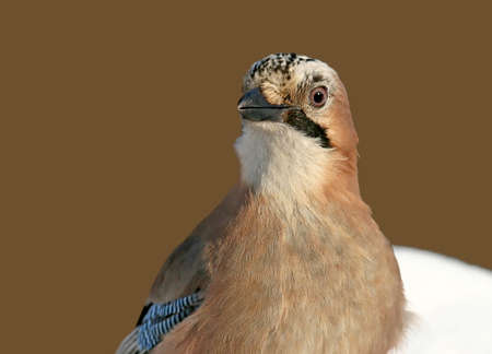 Very close up and detailed portrait of eurasian jay on the snow