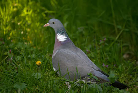 Close up portrait of the common wood pigeon (Columba palumbus) on the grass