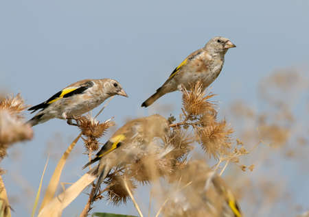 A pair of young goldfinch feeding on the plants