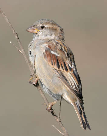 Very close up portrait of female house sparrow isolated on beige blurred background