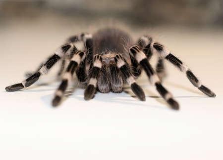 Close up view on the big spider Tarantulas  Stok Fotoğraf