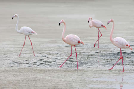 Four pink flamingos walking on the sand