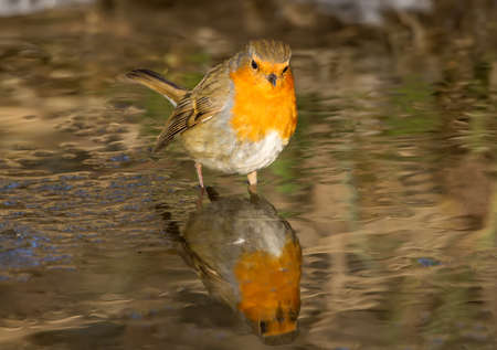 European Robin stands in a frozen creek and looks for food looking at his own reflection in the water. Close up view