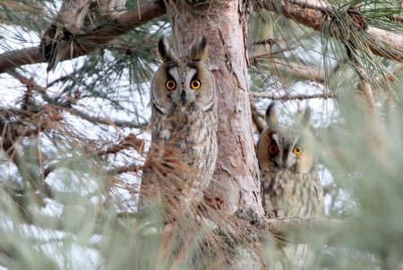 Two funny long eared owls watching you from a tree Zdjęcie Seryjne
