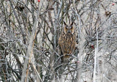 겨울 깃털에 긴 귀 부의 올빼미가 울창 한 숲 속에 앉아있다.