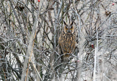 A long eared owl in winter plumage sits inside a  dense bush. 免版税图像
