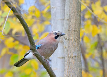 Portrait of a Eurasian jay in an autumn forest against a background of yellow leaves. A bird sits on the branch