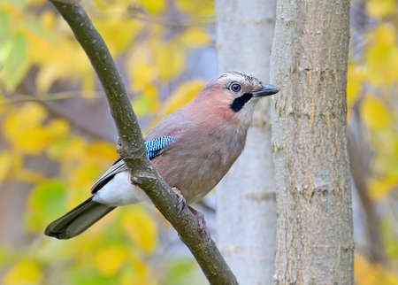 Close up Portrait of a Eurasian jay in an autumn forest against a background of yellow leaves. A bird sits on the branch