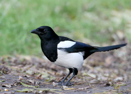 Close up photo of eurasian magpie. A bird sits on the ground and looks into a camera. Unusual perspective shot. Can be used for bird guiding.