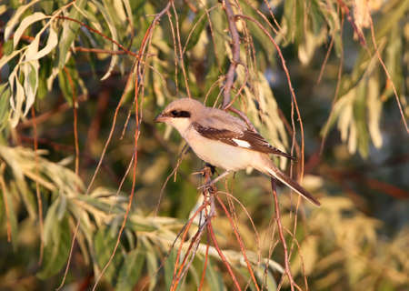 A young lesser grey shrike (Lanius minor) sits on the branch in soft morning light. Can  be used for bird guiding