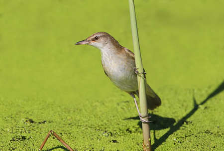 Very close up photo of great reed warbler sits on the reed isolated on green background.Detailed view can be used for bird guiding