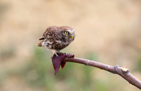 Adult little owl eats meat on a branch. Beautiful blurry beige background
