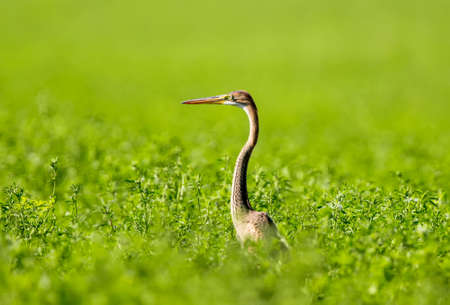 Purple heron stands in a tall grass in the middle of a green field. Background is blurred Фото со стока
