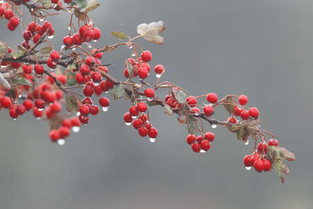 A Hawthorn branch with red berries and rain drops on them isolated on a gray background Stock Photo