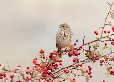 A corn bunting (Emberiza calandra) sits on a hawthorn bush wit a red berries and rain drops on them. A bird isolsted on blurred beige background