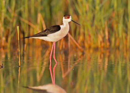 black-winged stilt in morning light. The identifications signs of the bird and the structure of the feathers are clearly visible.