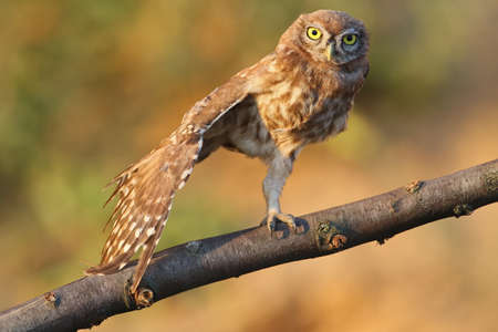 Chicks of a small owl are photographed near their nest. Learn the world that is not known to them. They look attentively at the camera. Close-up shot. Very expressive big yellow eyes close-up.The identifications signs of the bird and the structure of the feathers are clearly visible.