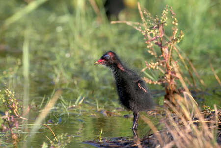 Fluffy ball with wings. The photo was taken early in the morning on a lake near Odessa, Ukraine. The moorhen are widespread in local water bodies. Stock Photo