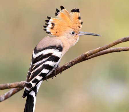 One hoopoe sitting on special branch and posing photographer.The identifications signs of the bird and the structure of the feathers are clearly visible