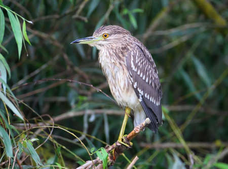 Young night heron sits on a branch at cloudly day
