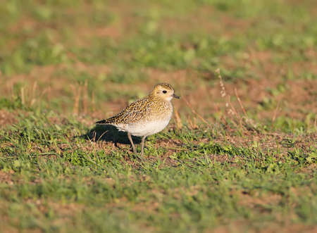 Adult golden plover in winter plumage stands on a  green grass field