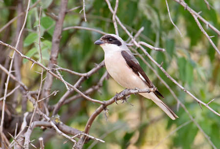 Lesser shrike sits on the branch close up view