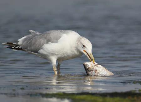 부리에 물고기와 갈매기는 물에 서있다. 사진 닫기