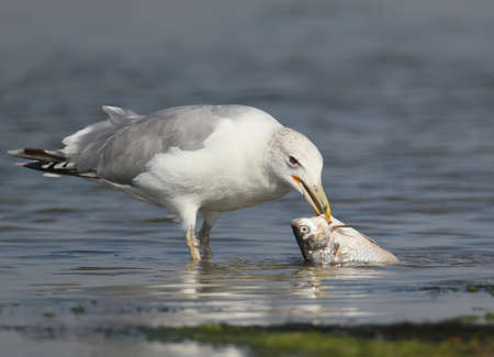 A seagull with fish in beak stand in the water. Close up photo