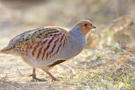 Very close up photo of a gray partridg stands on the ground in backlight Stock Photo
