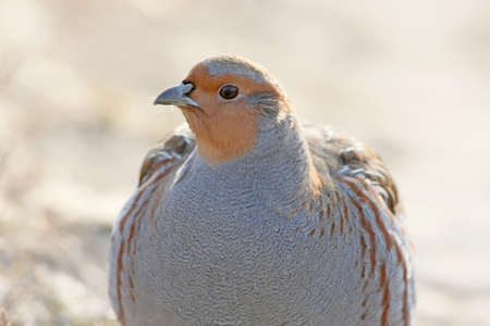 Very close up photo of a gray partridg stands on the ground in backlight on beige blurred background