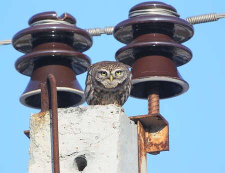 Adult little owl sits on a pole between two electrical insulators and wires It is very convenient for selecting and cutting an object from the background