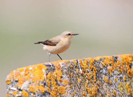 Detailed portrait of The northern wheatear or wheatear (Oenanthe oenanthe) on beige blurred background. May be used for bird guiding