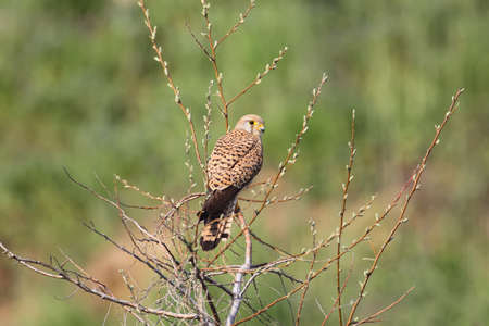 Common kestrel sits on the tree with blurred green background and looks at camera. Bright sunlight. Stock Photo
