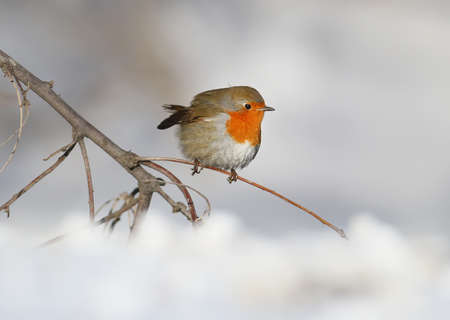 Very close up photo of European robin (Erithacus rubecula) sits on a snow. Detailed and bright portrait on white blurred background