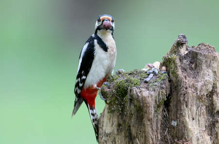 A male of great spotted woodpecker sits on the log on blurred green background and looks at camera. May be used for bird guiding Stock Photo
