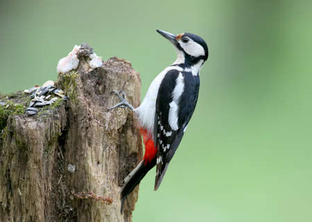 A male of great spotted woodpecker sits on the log on blurred green background. May be used for bird guiding