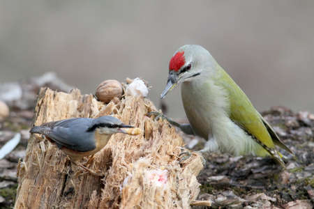 Eurasia nuthatch steals food from the gray headed woodpecker