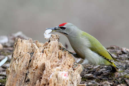 A male of grey woodpecker feeding on the log. Close up detailed photo. May be used in bird identyfication or bird guiding