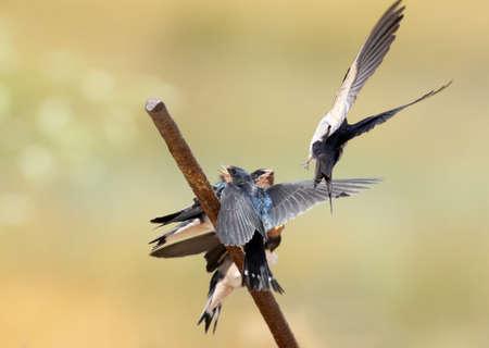 Barn swallow feeding their chicks scenes