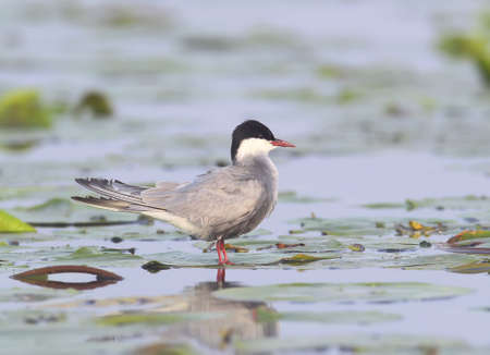 A whiskered tern stands on the water plants Stock Photo